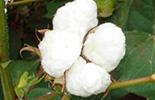 Cotton handbook