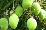 Mango Handbook